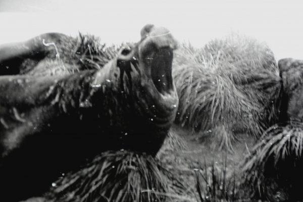 Salos gyventojas – jūros dramblys, stambiausias ruonių atstovas