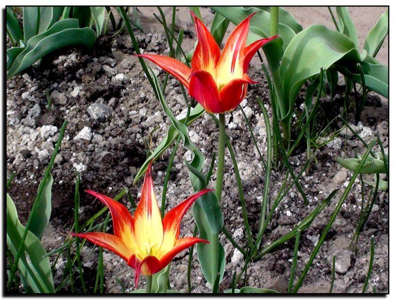 Burbiškio dvaras, tulpių šventė