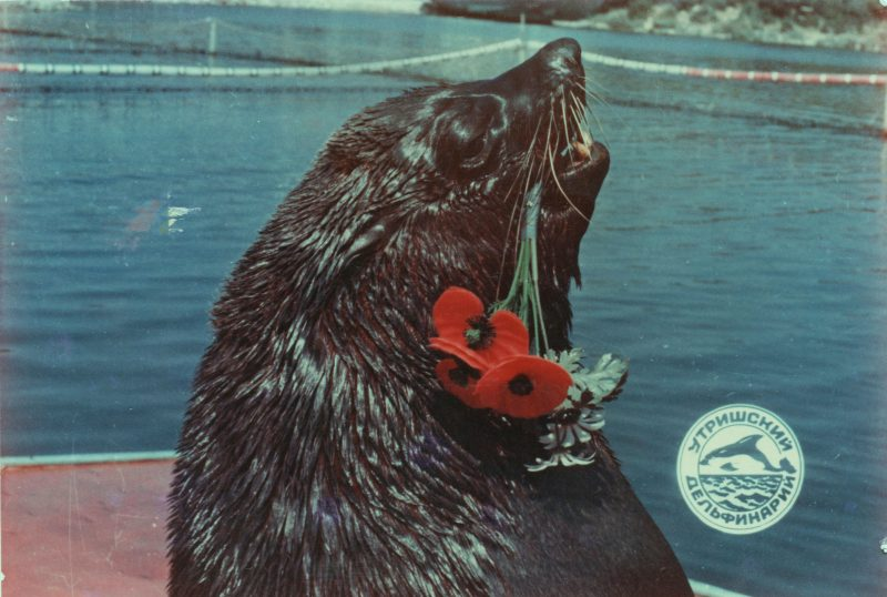 Soči (Rusija) delfinariume mus sveikina jūrų liūtas Džoni