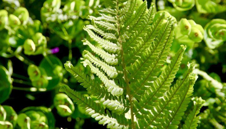 Dryopteris filix-mas 'Furcans' Kelminis papartis