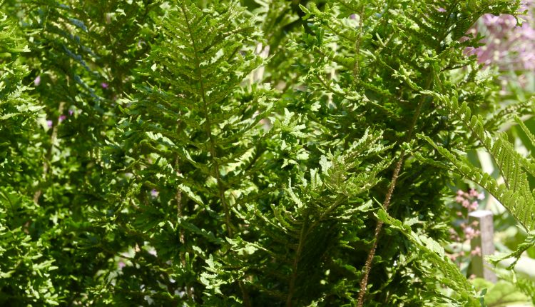 Kelminis papartis Dryopteris filix-mas 'Cristata'